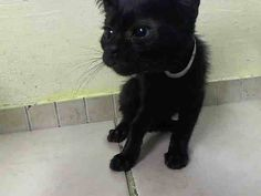 TO BE DESTROYED 10/9/14 ** ADORABLE PANTHER BABY! ONLY 7 WEEKS OLD! Beginner Pepper interacts with the Assessor, solicits attention, is easy to handle and tolerates all petting. ** Manhattan Center  My name is PEPPER. My Animal ID # is A1016405. I am a female black domestic sh mix. The shelter thinks I am about 7 WEEKS old.  I came in the shelter as a STRAY on 10/04/2014 from NY 10027, Group/Litter #K14-196928.