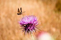 The Amazing Hummingbird Hawk Moth | The Ark In Space