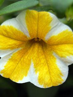 New Petunia Colors Tequila Sunrise | punch petunia calibrachoa superbells dreamsicle petunia calibrachoa ...