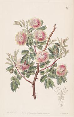 033-mimosa uruguensis, Uruguay Mimosa      ...