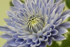Scientists Give a Chrysanthemum the Blues