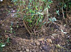 Les 8 étapes pour bien planter une haie - Détente Jardin Plantation, Gardens, Roots, Plants