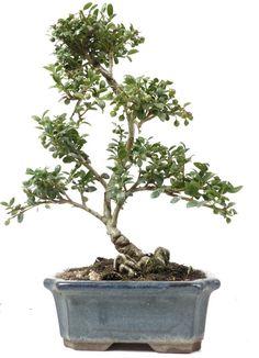 Bonsai Jap. Stechpalme, ca. 6 J. (29 cm)