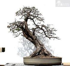 Crataegus #bonsaitrees