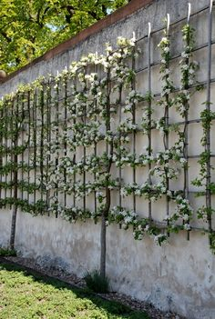 Training of trellis fruits Klostergarten Seligenstadt, Germany We would like to thank you if you wou Back Gardens, Small Gardens, Outdoor Gardens, Espalier Fruit Trees, Small Garden Design, Garden Trellis, Fruit Garden, Plantation, Dream Garden