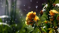 Rose in the Rain HD 1080p Wallpapers Download