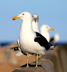 Seagulls at the Port St.Francis Harbour . Just love this place