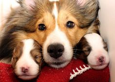 Momma Sheltie and her babies