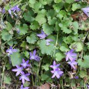 De Tuinen van Appeltern - Plantenencyclopedie - Campanula portenschlagiana - Klokjesbloem