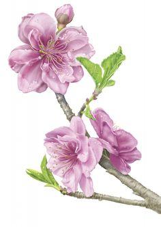 apple_blossoms1000