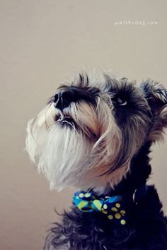 Mini schnauzer ........ Wow did you see that falling star Love the bowtie. George will definitely have a bowtie!