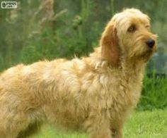 Basset Artesien Normand, Petit Basset Griffon Vendeen, Every Dog Breed, Animal Magnetism, Dog List, Getting A Puppy, Different Dogs, Purebred Dogs, Bretagne