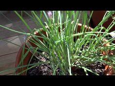 The Container Garden, Galangal (Thai Ginger), Lemongrass, Kaffir Lime Tree, Terracotta Pots and More - YouTube