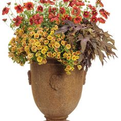 Proven Winners - Banana Nut combination container recipe containing Superbells® Double Amber - Double Calibrachoa - Calibrachoa hybrid, Heat it Up™ Scarle. Container Size, Container Design, Container Flowers, Fall Planters, Planter Pots, Fall Containers, Proven Winners, Banana Nut, Large Plants