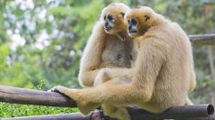 6 Minute English: Why do gibbons sing duets?