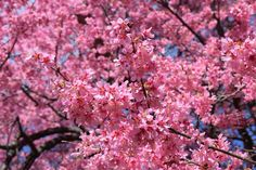 Prunus 'Okame Common Name: Taiwan CherryPlant Story:With an early bloom then other cherries, Prunus 'Okame', features fragrant pink flowers with reddish flower stalks. Leaves turn from bronze red to bright orange in the fall. The reddish brown bark feature horizontal lentils.Type: Tree DeciduousBloom Season: SpringFlower Color: PinkPlanting Zone: 6-8Height: 15-25 ftSpread: 15-20 ftLight Requirements:Full Sun