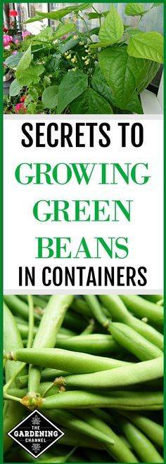 Tips On How To Grow Growing Green Beans Green Beans Container Gardening Vegetables