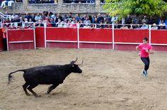 Santacara: Vacas Merino - Fiestas de Santa Eufemia Año 2016