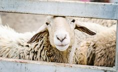 Our First Look Inside A Lamb Slaughterhouse Is A Nightmare   Care2 Causes