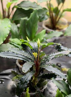 Помимо листовых соцветий гибриду Bucephalandra sordidula (B. sp. Velvet Leaf) x Bucephalandra spathulifolia (B. sp. Green Saw) присуще и обычное цветение