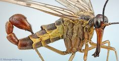 Scorpionfly.....real bug but what a nightmare one