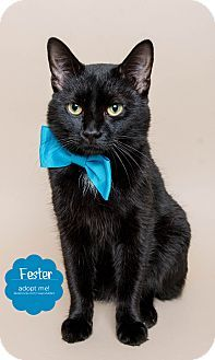 Fester: Domestic Shorthair, adult male. Wyandotte, MI. I'm good with cats, dogs, & kids & I'm very huggable.