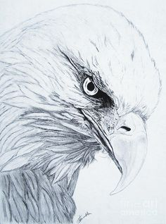 Eagle Drawings - Bing Images