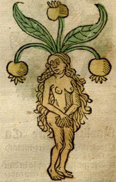 Mandragora, female 1487, Gart der Gesundheit, -Detail