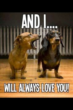 Our Dachshund Dogs are our whole world. We love sharing our Dachshund Photos and Information about Dachshunds and Dachshund puppies with everyone. Dachshund Funny, Dachshund Love, Funny Dogs, Funny Animals, Cute Animals, Daschund, Animal Memes, Brown Dachshund, Brown Dog