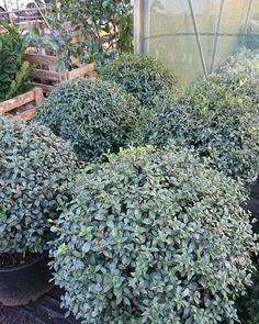 "How Green Nursery LTD on Instagram: ""We have another alternative to Buxus in stock - these lovely Osmanthus burkwoodii balls. This evergreen will take full sun or part shade…"""