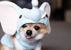 chihuahua in elephant outfit.  mmmkay?