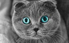 Шотландский вислоухий кот (фото): комок счастья