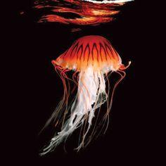 "Japanese Sea Nettle, image ""Sea"" by Mark Laita Wild Animals Attack, Animal Attack, Fauna Marina, Life Under The Sea, Beneath The Sea, Dangerous Animals, Sea Photo, Ocean Creatures, Deep Sea"