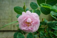 'Celestial' a pink Alba Rose dating to early 18th century | Hedgerow Rose