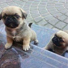 adorable pugs!