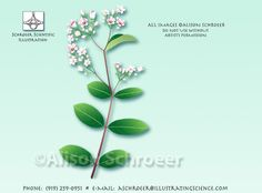 Dogbane.  Maybe my next two tattoo on my right calf.  In memory of my dogs.