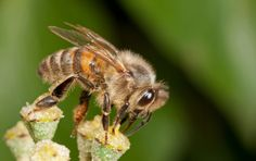 Honeybees face extinction as billions die every year due to pesticides and loss of habitat