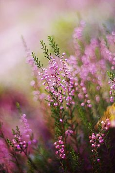 heather Groups of three with about the same depth of field.very nice. Wild Flowers, Beautiful Flowers, Simply Beautiful, All Nature, Shrubs, Nature Photography, Bloom, Pictures, Photos