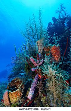 Coral reef with multi-coloured, different types of coral and sponges, Half Moon Caye, Lighthouse Reef, Turneffe - Stock Image Ocean Depth, Salt Water Fish, Underwater Life, Coral Reefs, Sea Turtles, Fish Art, Tropical Paradise, Marine Life, Sea Creatures