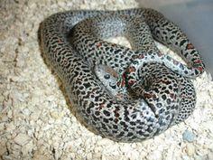 tarahumara King Snake    17674d1328608188-speckled-mexican-kings-dsc04892.jpg