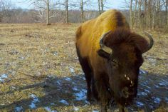 Most people love Battelle Darby for its herd of six bison, which roam an 18-acre paddock, which they are helping transform back into a prairie landscape. As they browse trees and shrubs and leave…fertilizer on the ground, the landscape has started to return to the grassland it was before Ohio became a state.
