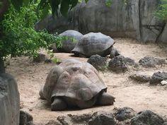 Galapagos tortoises, Gladys Porter Zoo, Brownsville Texas