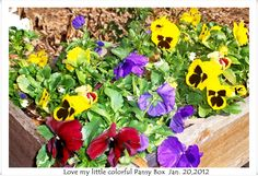 My little pansies!