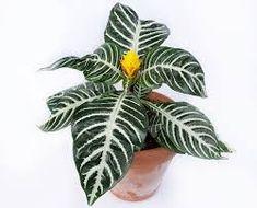 Image result for zebra plant Zebra Plant, Being In The World, House Plants, Plant Leaves, Seasons, Garden, Holiday, Terrarium, Instagram