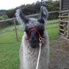 Image result for tampuli llama Animals, Image, Animaux, Animal, Animales, Animais