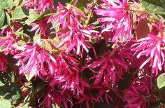Hamamelis - Loropetalum chinense
