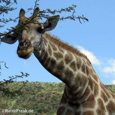 Über Instagram hier eingefügt http://ift.tt/1ZNAWt1 - Malariafreie Wildreservate in #südafrika #southafrica #malariafree #gamereserves #wb1001rb #wbesaesa @jacislodges @pilanesberg_ @south_africa_through_my_eyes @rhulani_lodge #wbpinsa #giraffe #vovcyan
