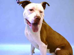 KILLED BY ACC - 07/30/15 - TO BE DESTROYED - 07/30/15 - TIGGER - #A1044717 - Urgent Manhattan - MALE WHITE AND BROWN AM PIT BULL TERR MIX, 1 Mo - SYRAY HOLD FOR ID Intake Date 07/20/15