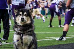 Dubs UW Huskies mascot.