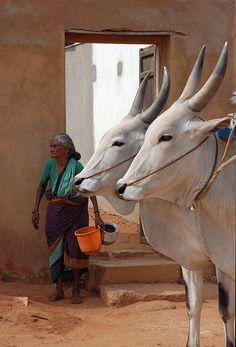 "Matched Pair ---- ""All Eyes"" Chettinad, India © jonathan whelan Religions Du Monde, Cultures Du Monde, Zoo 2, Mother India, Photo Animaliere, Amazing India, India Culture, India People, Mundo Animal"